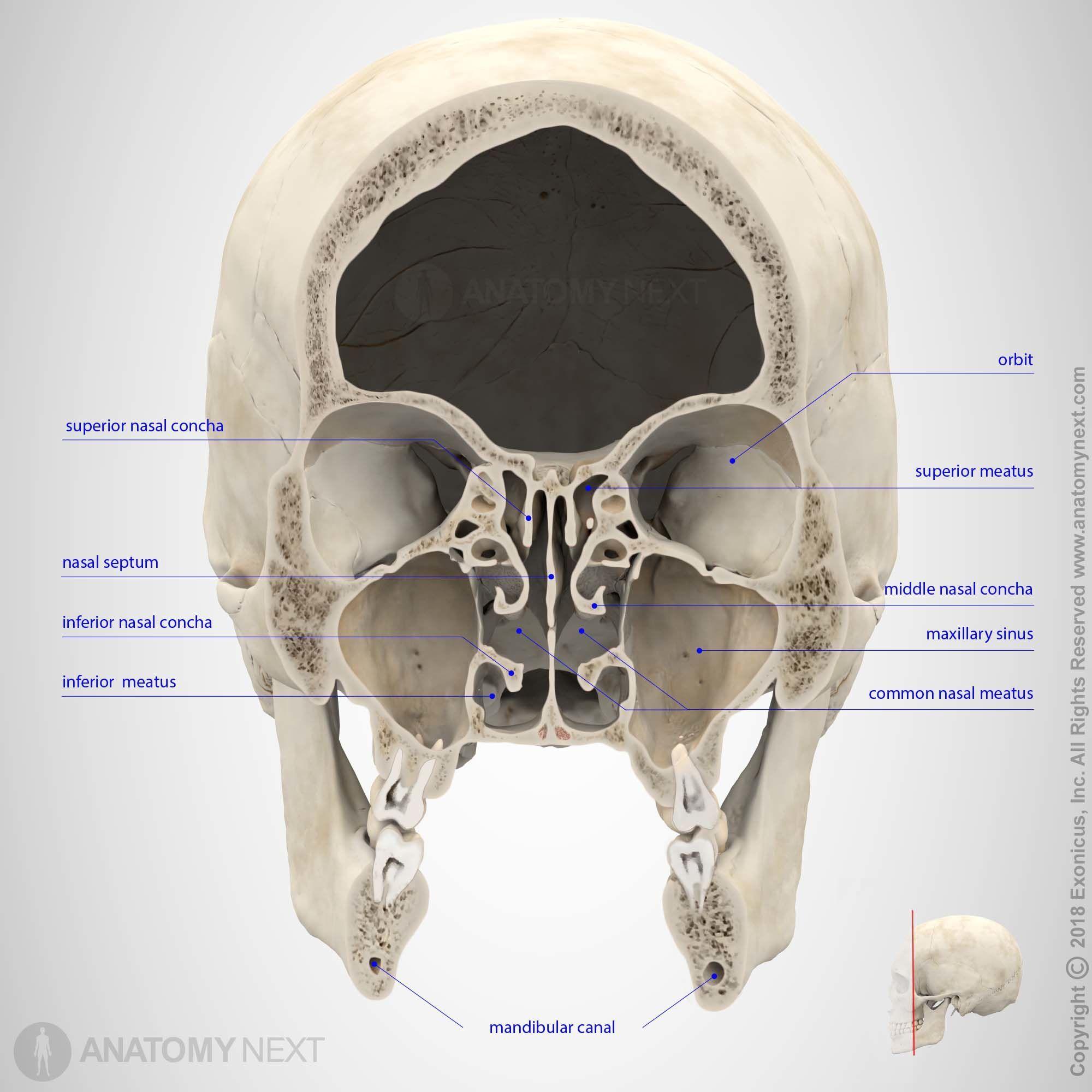 Maxillary sinus | Cranial anatomy | Pinterest | Maxillary sinus