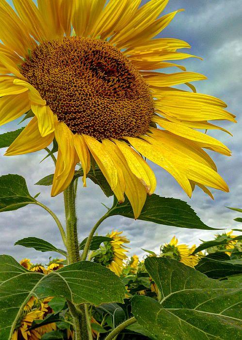 Beautiful Large Sunflower  (c) Laura Duhaime Photography 2014