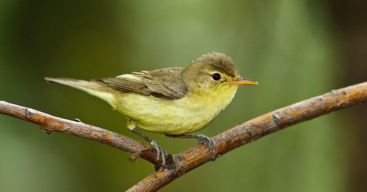 Betere Vogels In De Tuin Herkennen: 27 Tuinvogels & Info (met CY-92