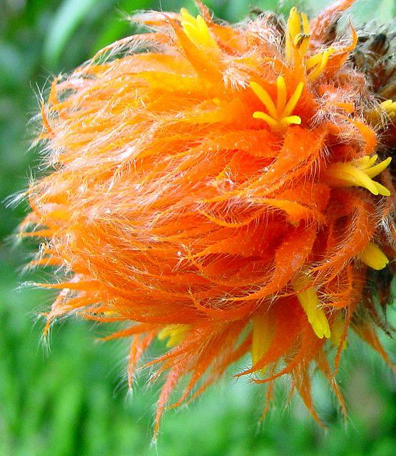 Indigenous Amazon rainforest flower, Ecuador by dotnethed