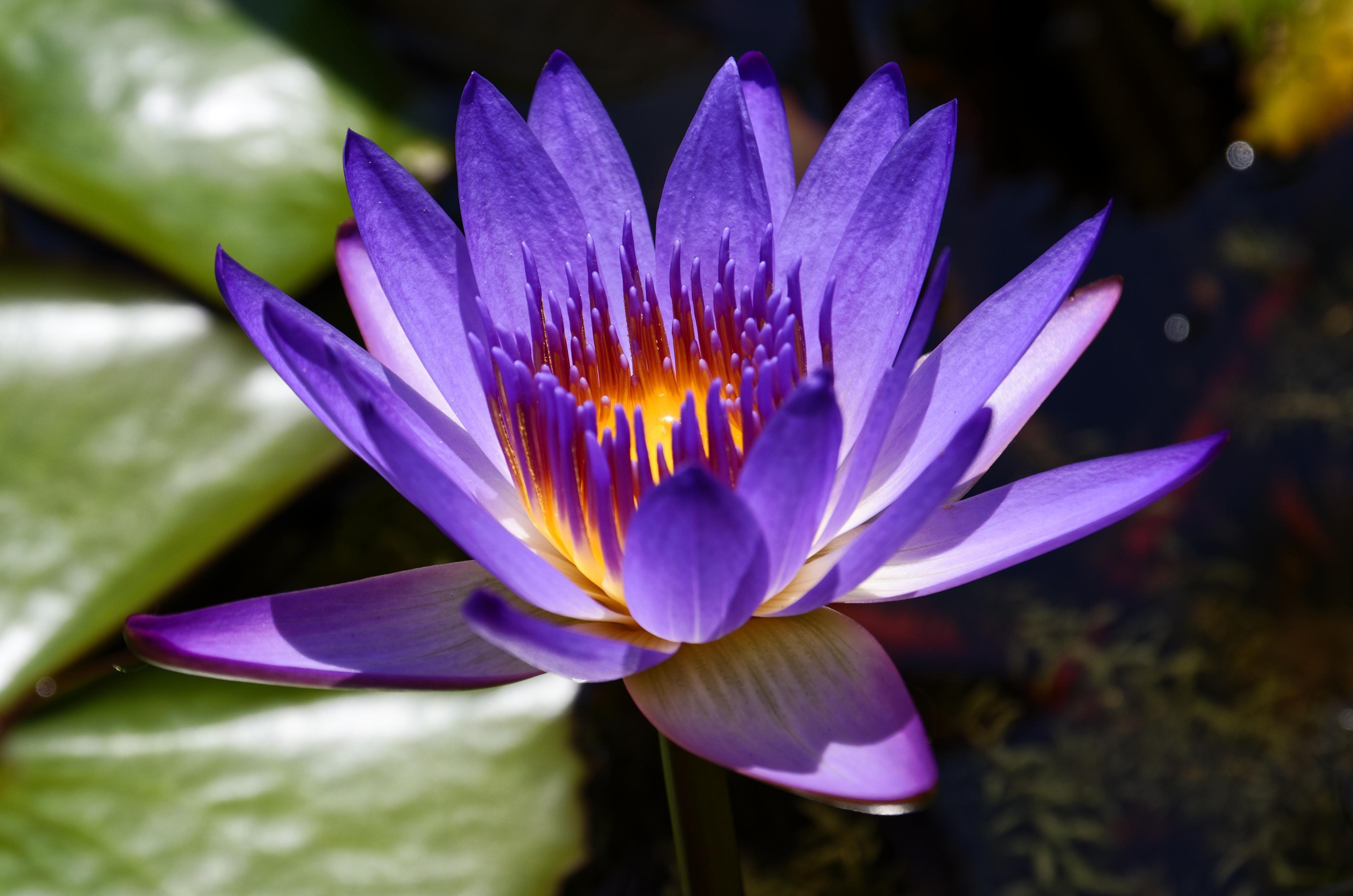 Purple lotus flower nelumbo nucifera4013 x 2658oc botanical botanicalporn its plant tastic izmirmasajfo Choice Image
