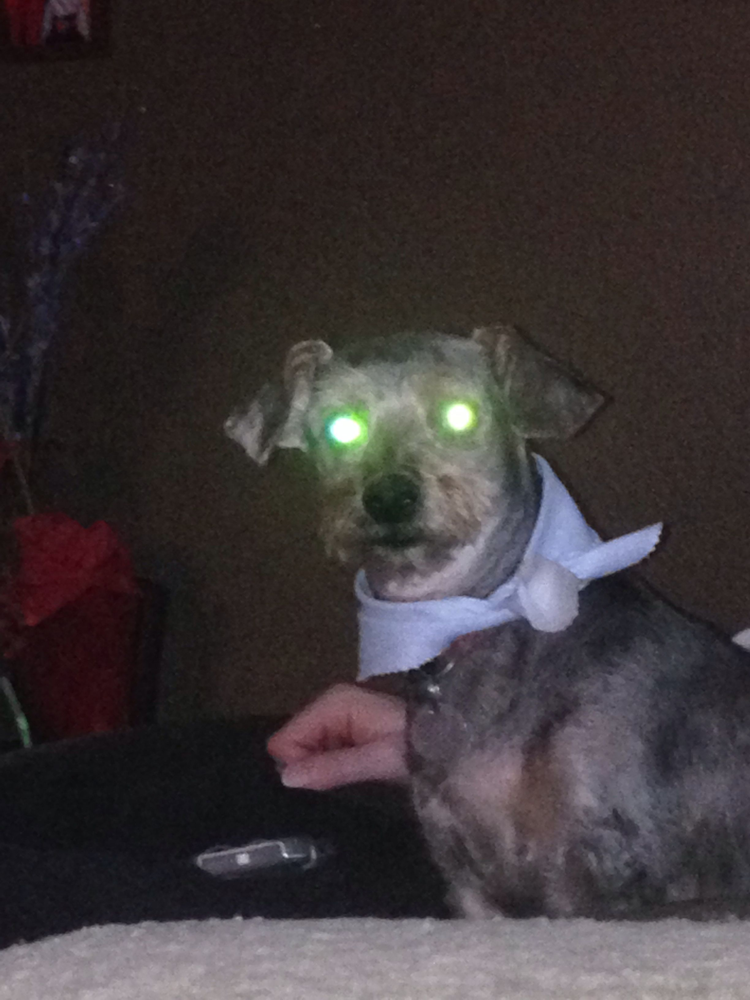 My dog has been possessed by aliens? #Yorkiepoo #dogs