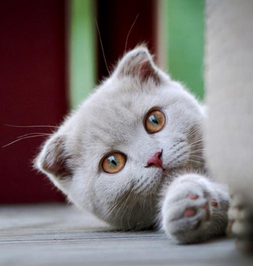 A Playful Cat Scottish Fold Kitten In Light Grey Scottish Fold Kittens Cat Scottish Fold Cute Cats And Kittens