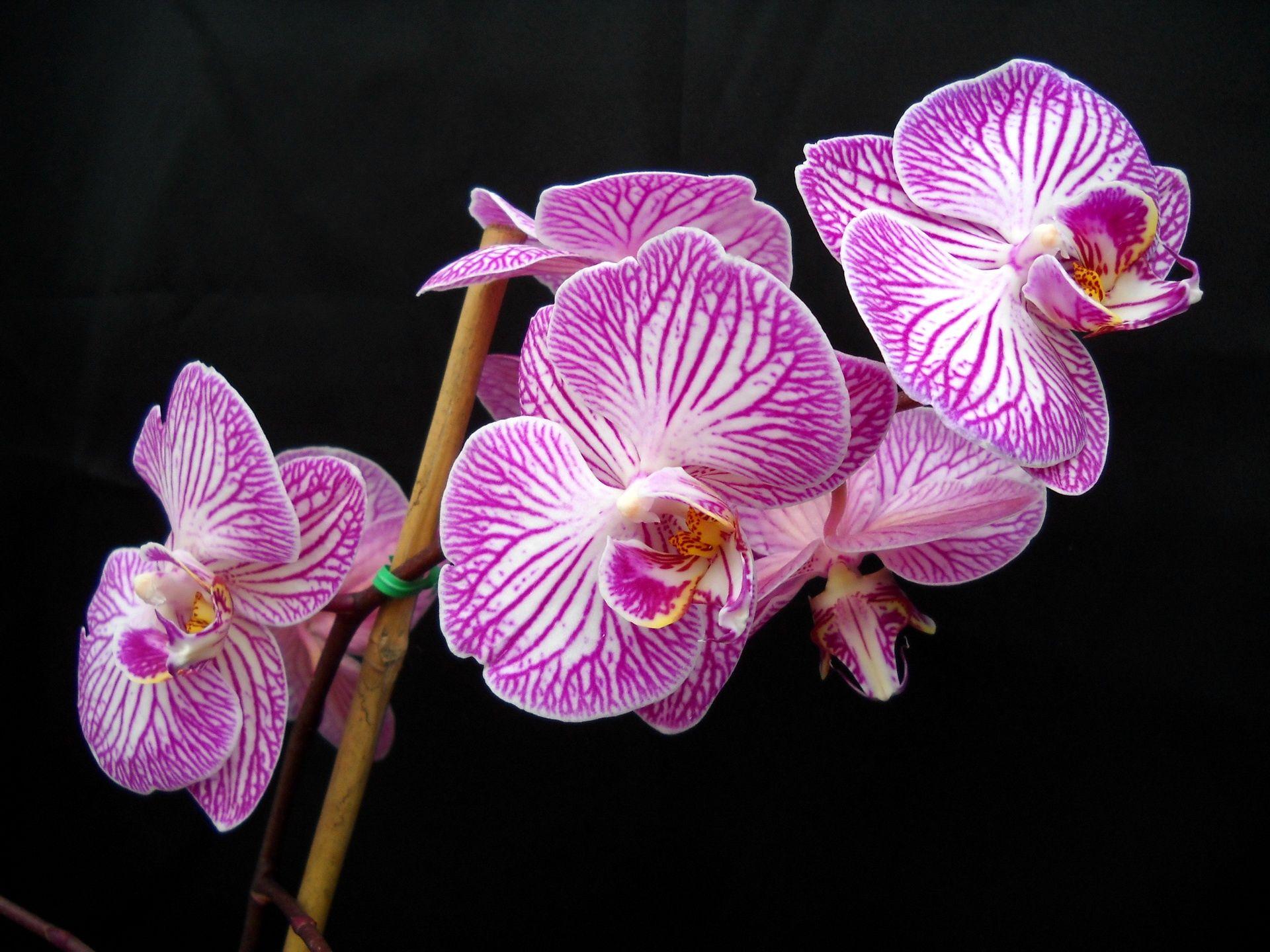 Phalaenopsis orchid wedding decor pinterest phalaenopsis