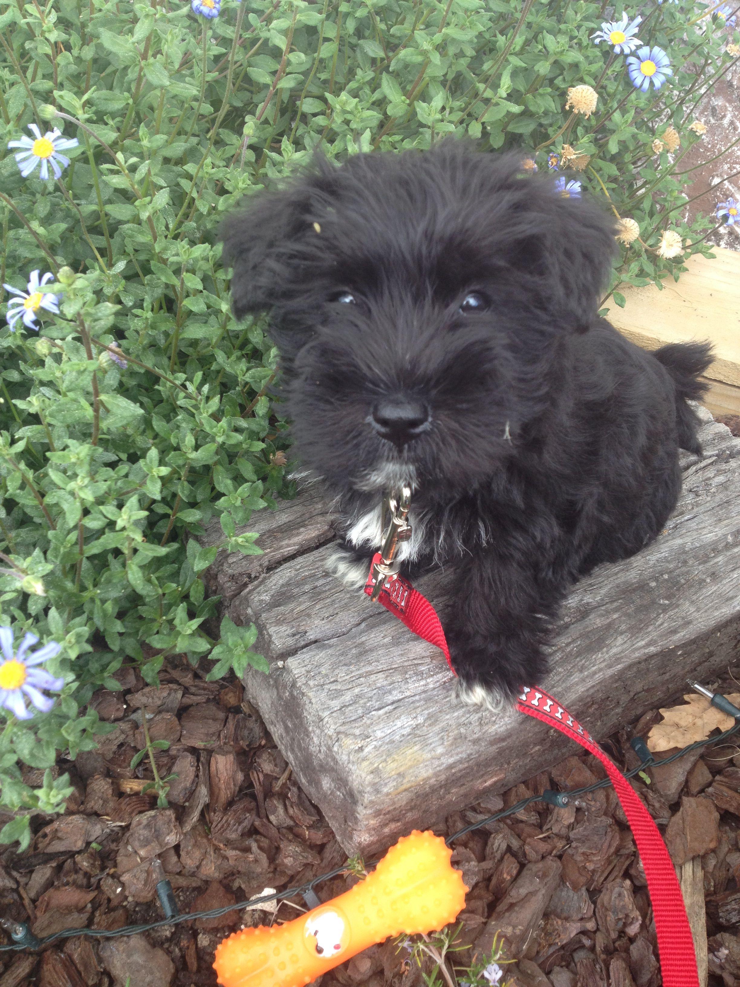 Miniature Schnauzer Jack Russell Cross Puppy Schnack Puppies Miniature Schnauzer Schnauzer