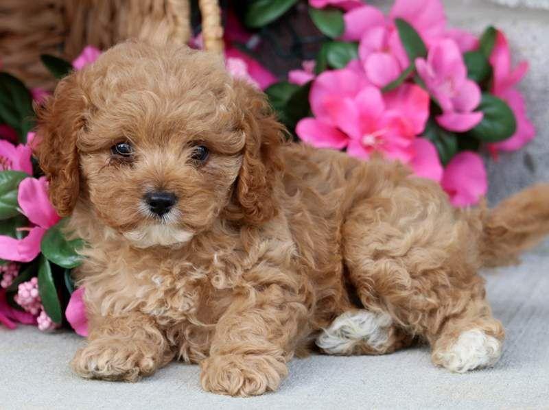 Hanna Golden Retriever Puppy For Sale Keystone Puppies Puppies For Sale Cavapoo Puppies For Sale Cavapoo Puppies