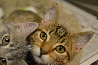 Petango.com – Meet Elune, a 2 months 22 days Domestic Shorthair / Mix available for adoption in OKLAHOMA CITY, OK
