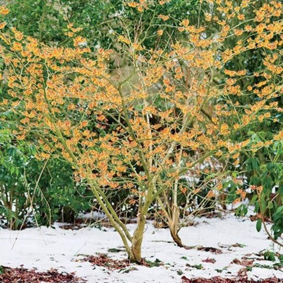 Small Trees For Borders: Witch Hazel Shrub, Small Tree, Fall / Autumn Color, Yellow