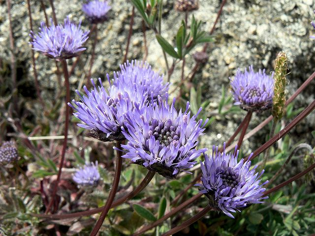 Sheepsbit - Jasione montana by Peter Herring, via Flickr