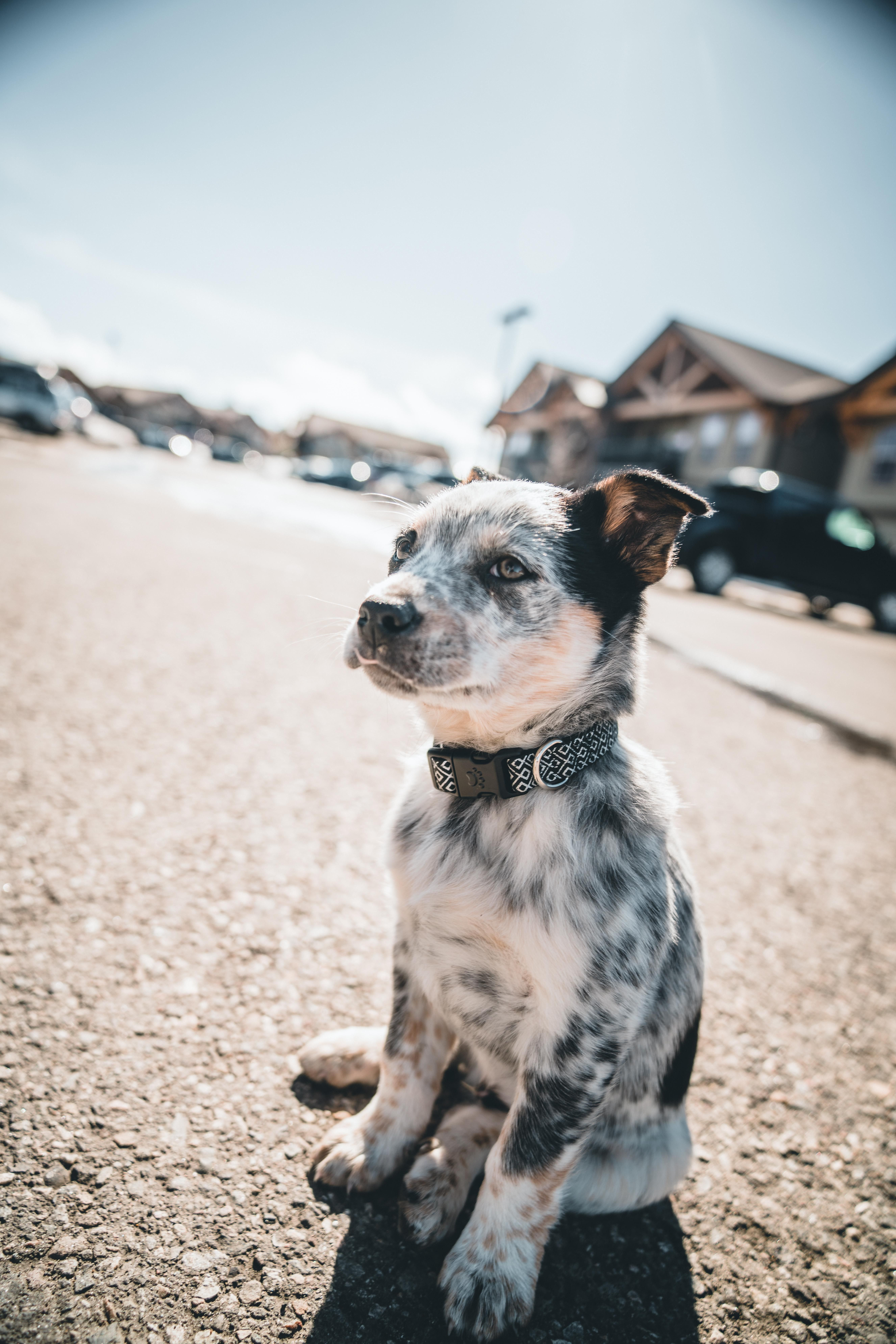 Comment Dresser Son Chien In 2020 Blue Heeler Dogs Heeler Puppies Pretty Dogs