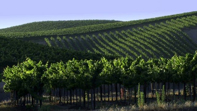 Wine Country 0105: Rows and rows of grapevines up and down the hills.   A Luna Blue  http://www.alunablue.com  Imagery for Your Imagination