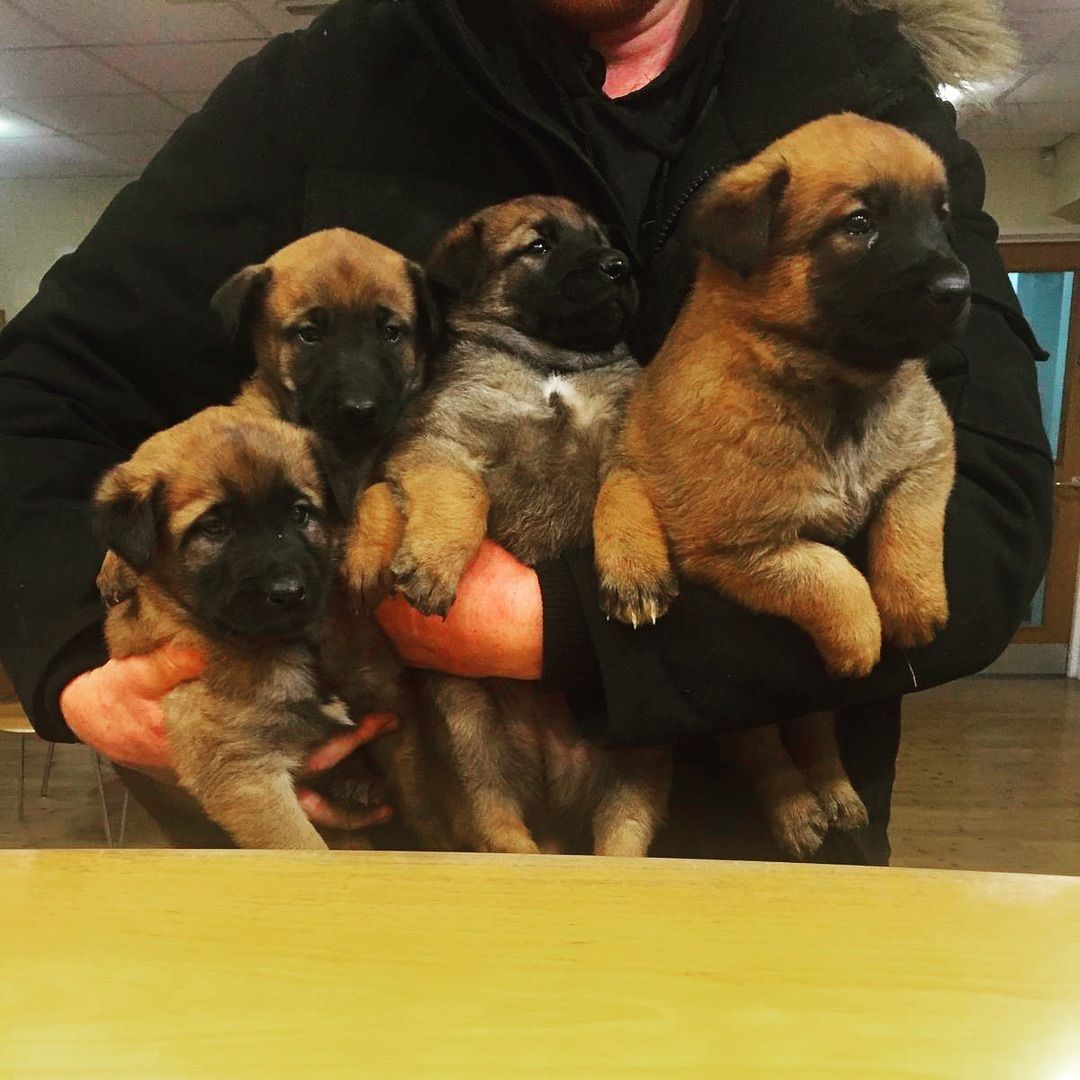 This Armful Of Fluff Will Grow Up To Be Working Protection Dogs