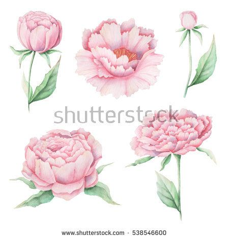 Hand painted Watercolor pink peonies on white background #watercolor #clipart #illustration #shutterstock #stock #painting #design  #art #beautiful #floral #plant #invitation #love #creative #SquirrelStudio #romantic #wedding
