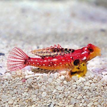 Ruby Red Scooter Dragonet Male Fish Pet Pets Ruby Red