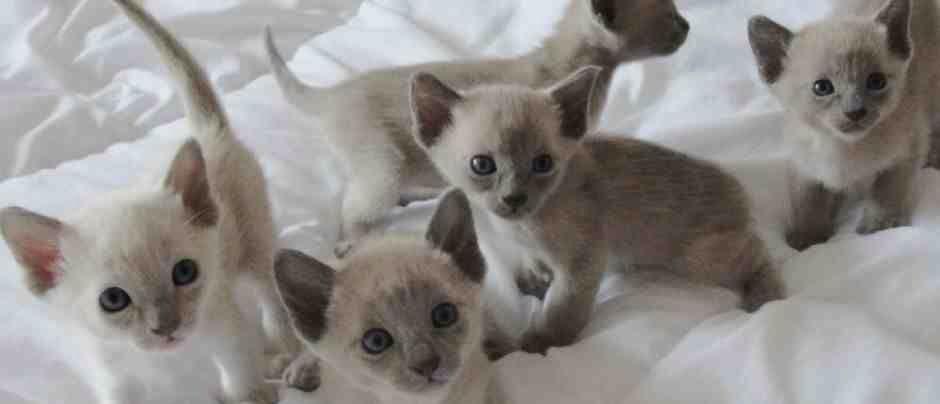 Blue Tonkinese Kittens Tonkinese Kittens For Sale Tonkinese Kittens Tonkinese Cat