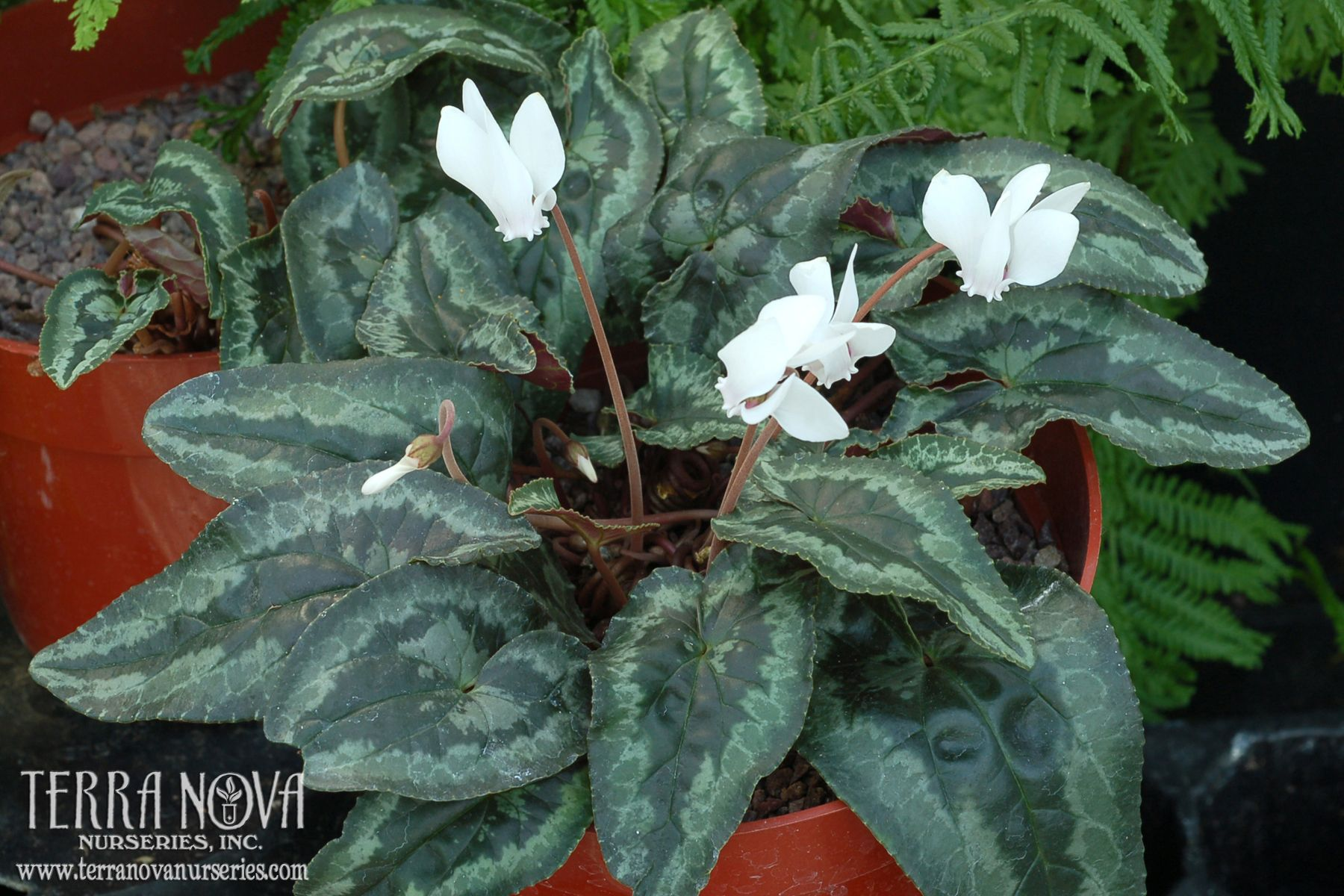Cyclamen Sweetheart Flame Remarkable Arrowhead Shaped Leaves
