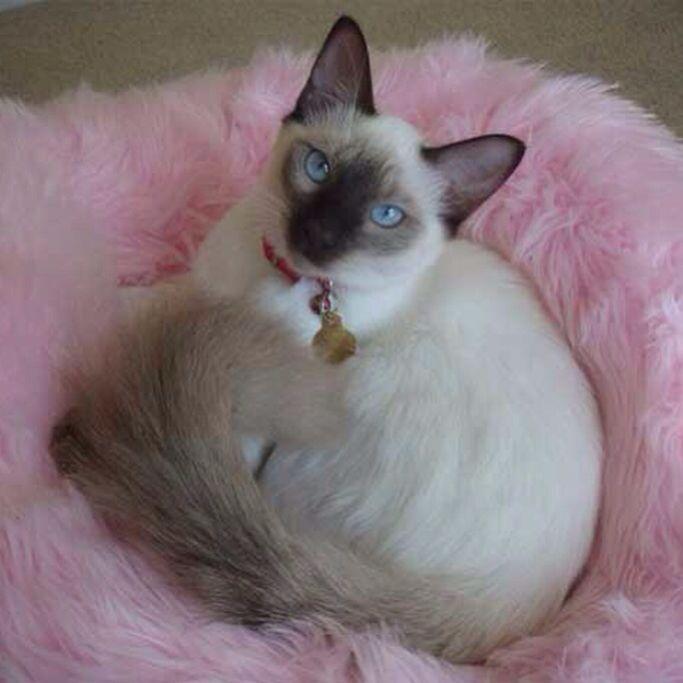 Balinese Balinese Cat Pretty Cats Cat Breeds Hypoallergenic