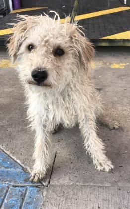06 19 2019 Super Urgent Adopt Dog Gus Gus Located In El Paso Tx Adopt This Young Cutie 3 Year Old Male Poodle To Be Des Dog Adoption Dog Status Rescue Dogs