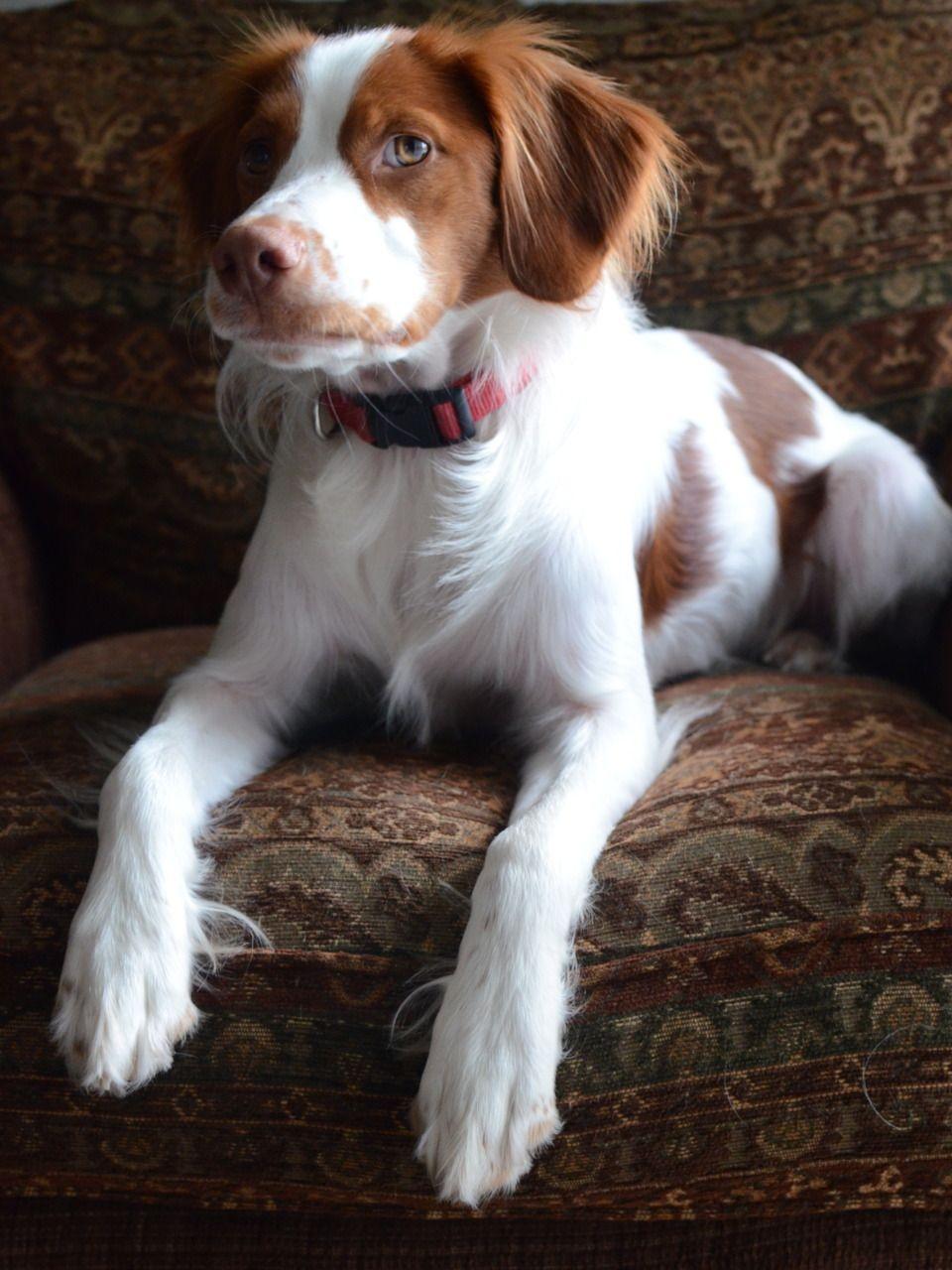 Pin By Felicia Webb On Dawgs Brittany Dog Cute Animals Dogs