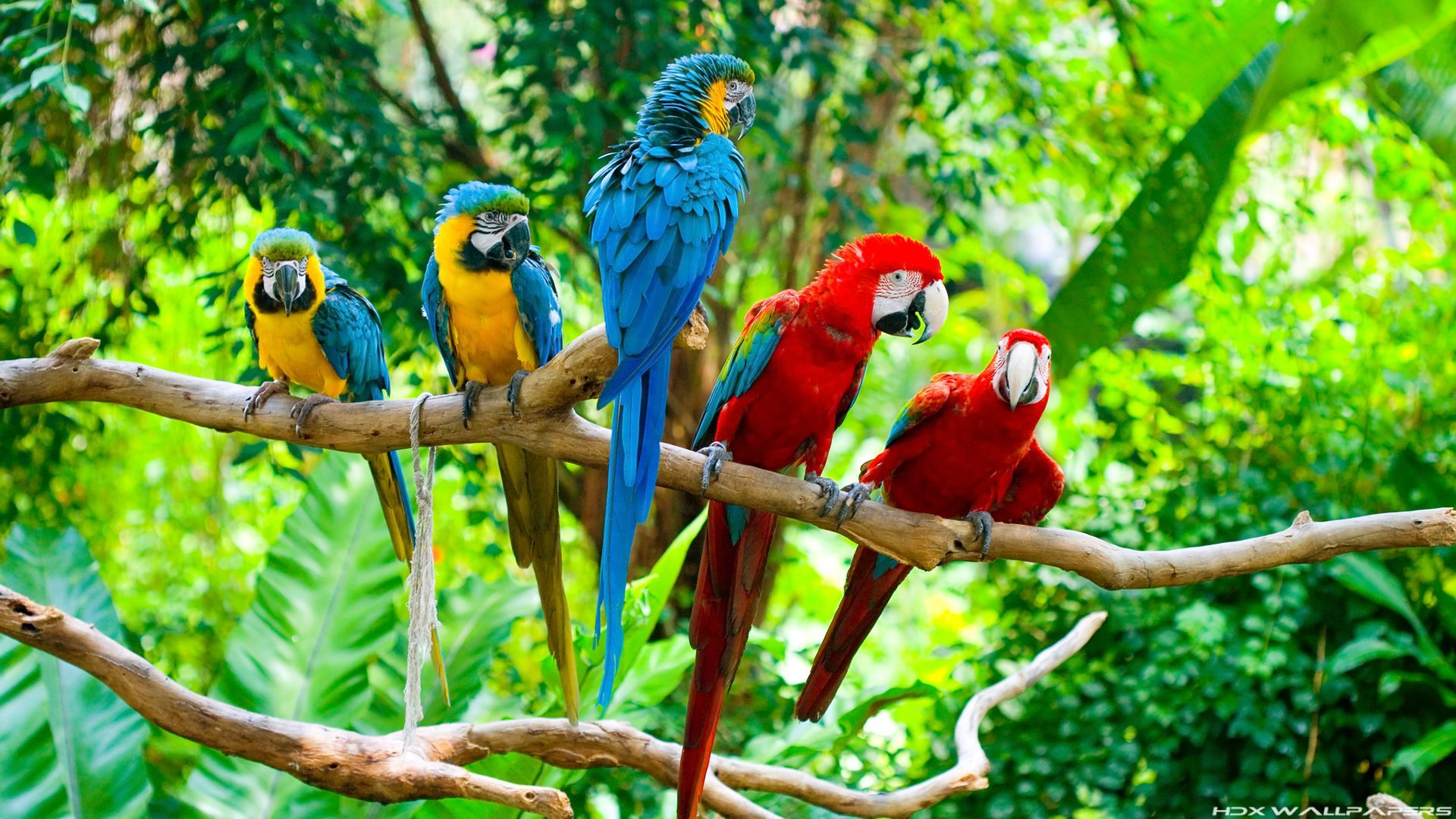 Parrot background hd