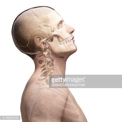 Stock Illustration Human Skull And Neck Bones Artwork Anatomy