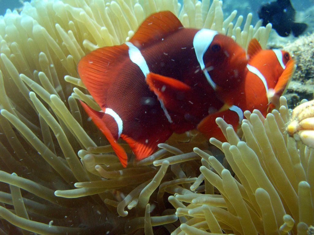 Clownfish_8_by_nathy21.jpg (1024×768)   clownfish   Pinterest ...