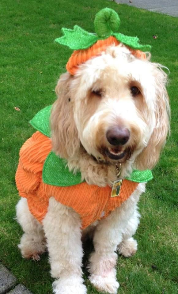 Goldendoodle Costume Best Dog Costumes Pet