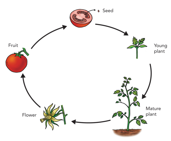 tomato life cycle for kids - Google Search | Kokkerelletje ...