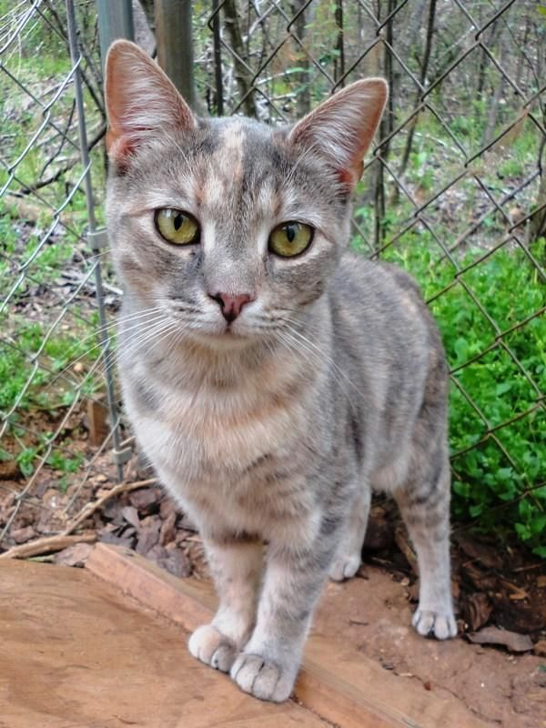 Adopt June Bug On Pretty Cats Beautiful Cats Cute Animals