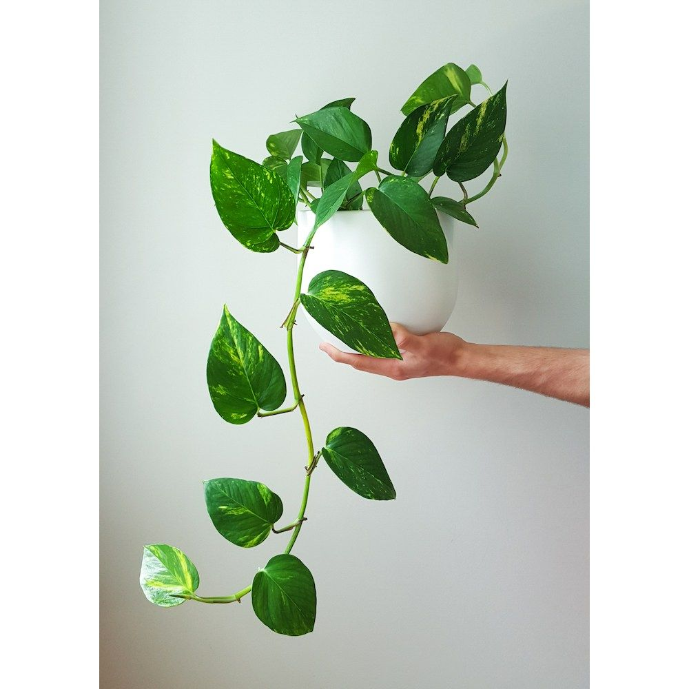 Golden Pothos In White For Room Benefits Cleans The Air