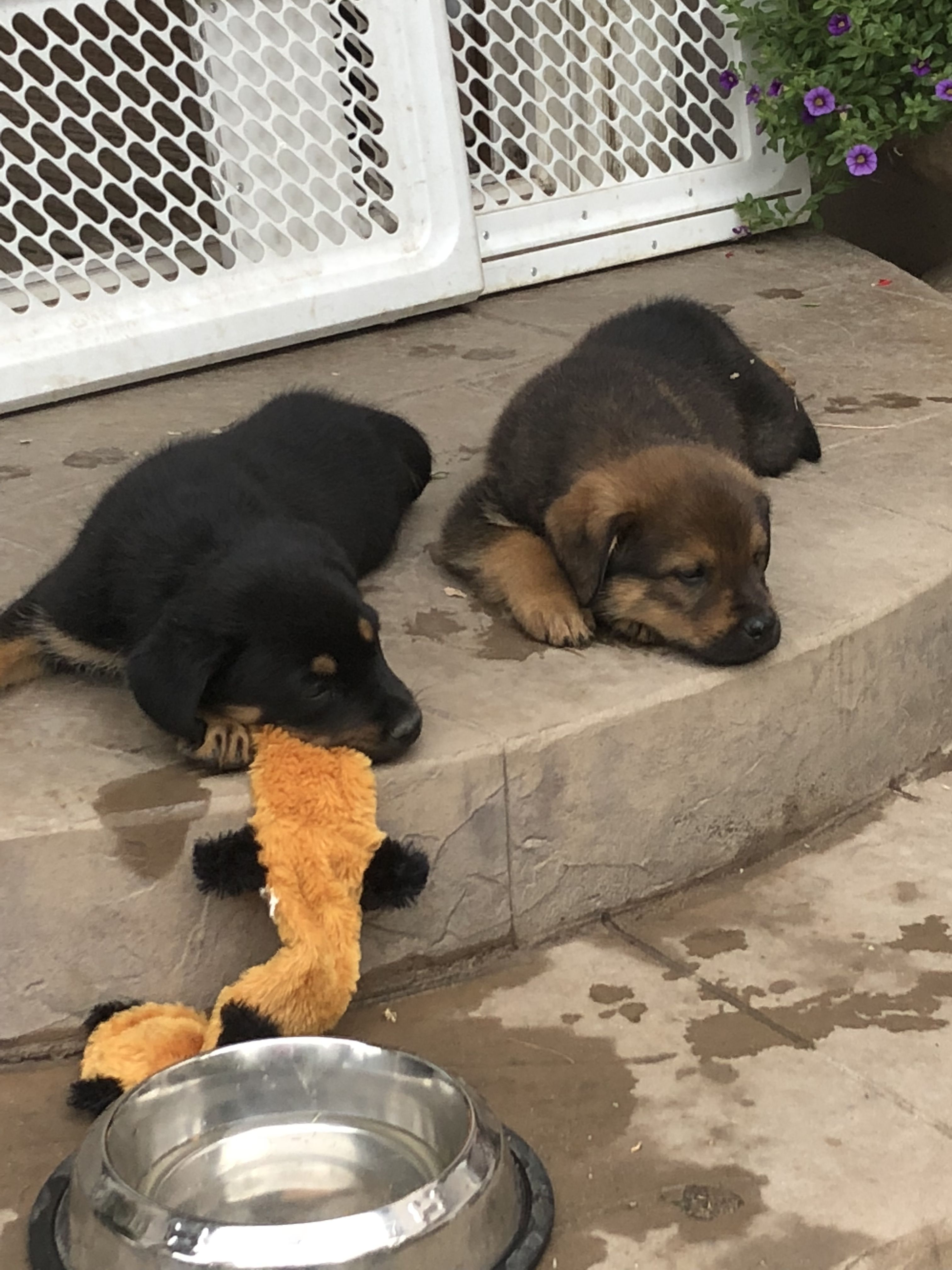 Brothers From The Same Litter Mastiff Rottweiler Pyrenees Mixed