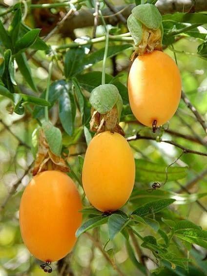 Arbre Fruit De La Passion : arbre, fruit, passion, Frutas, Verduras.
