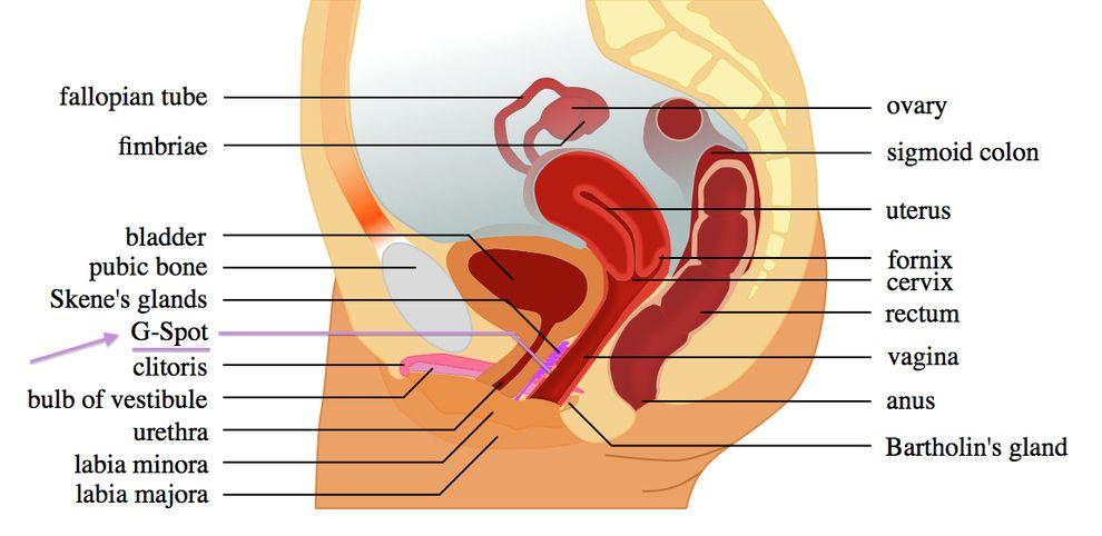 gspot diagram & index of image colitruris : gspot diagram - findchart.co