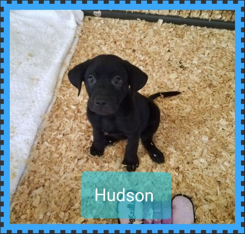 Adopt Hudson On Labrador Retriever Dogs Dog Adoption
