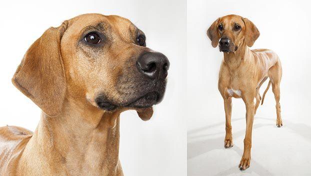 Rhodesian Ridgeback Dog Breed Selector