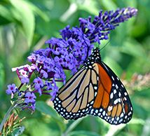 Buddleia Attract Beautiful Monarch Butterflies To The Garden.