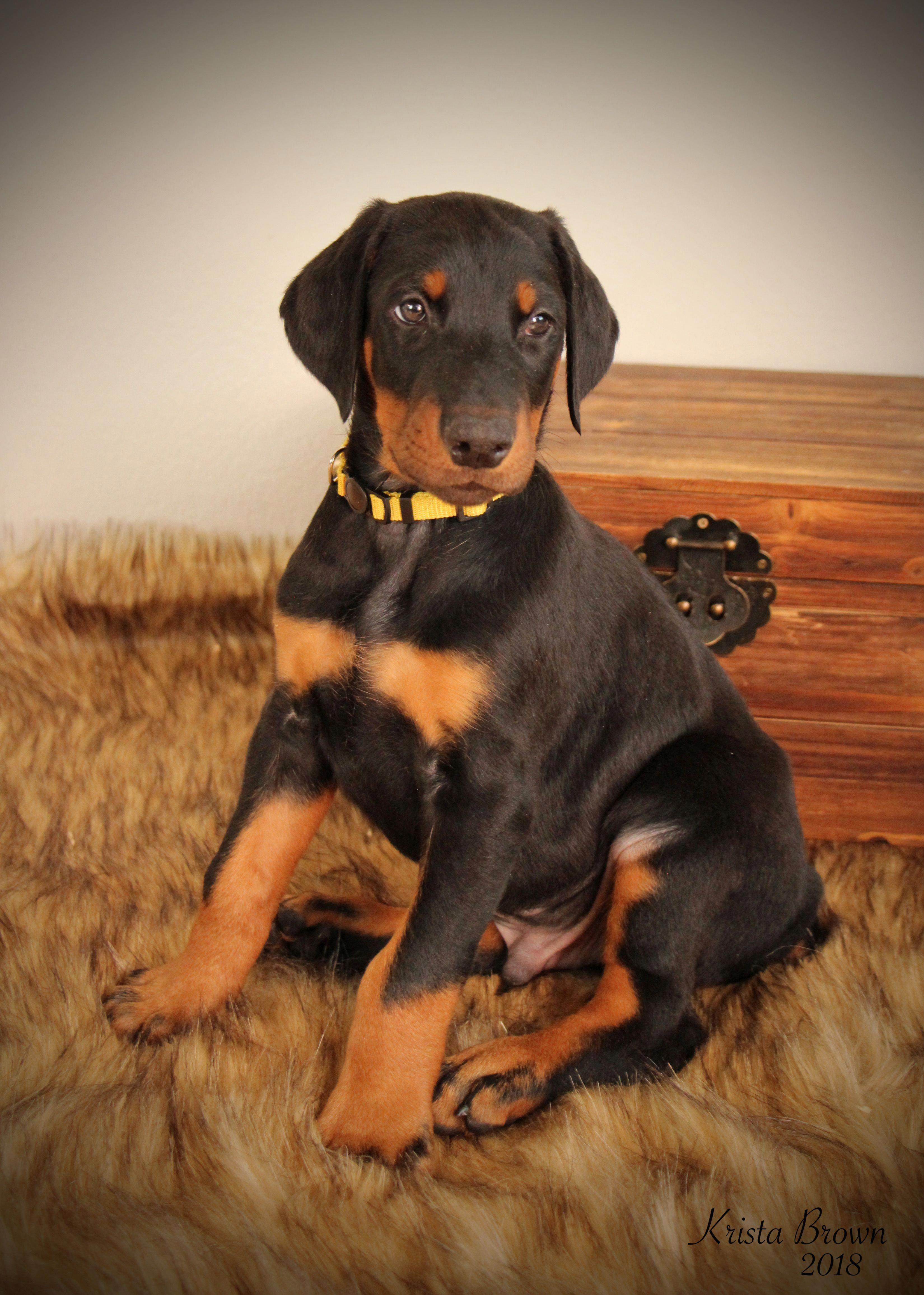 Doberman Black Doberman Pinscher Doberman Pinscher Puppy