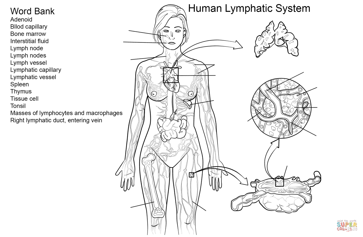 Lymphatic Immune System Coloring Pages
