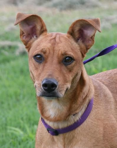 Adopt Sage On Catahoula Mix Dog Search Dogs