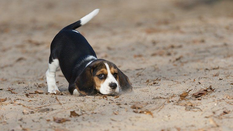 10 Amazing Facts About Your Dog S Tail Beagle Puppy Beagle Dog