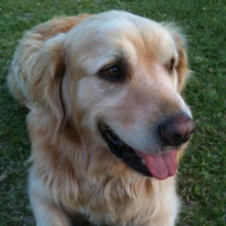 Bailey Is An English Golden Retriever And Lives In Avon Nc He Enjoys Surfing Swimming And Getting Muddy He Is A Big Love English Golden Retrievers Big Love Animals