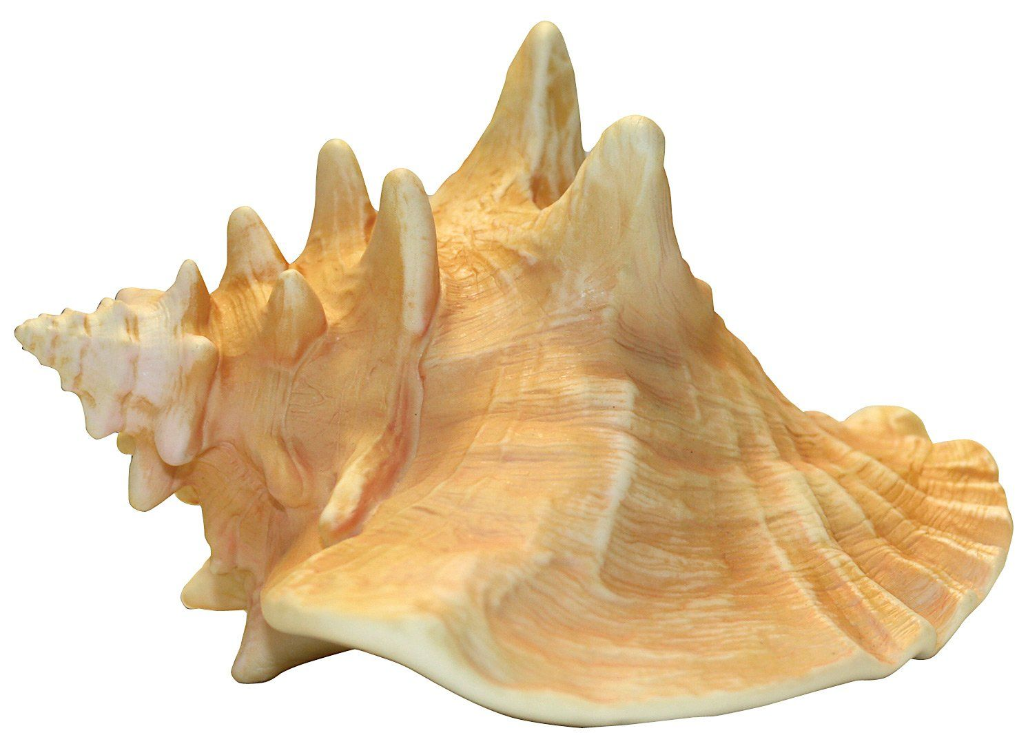 Image result for conch shell