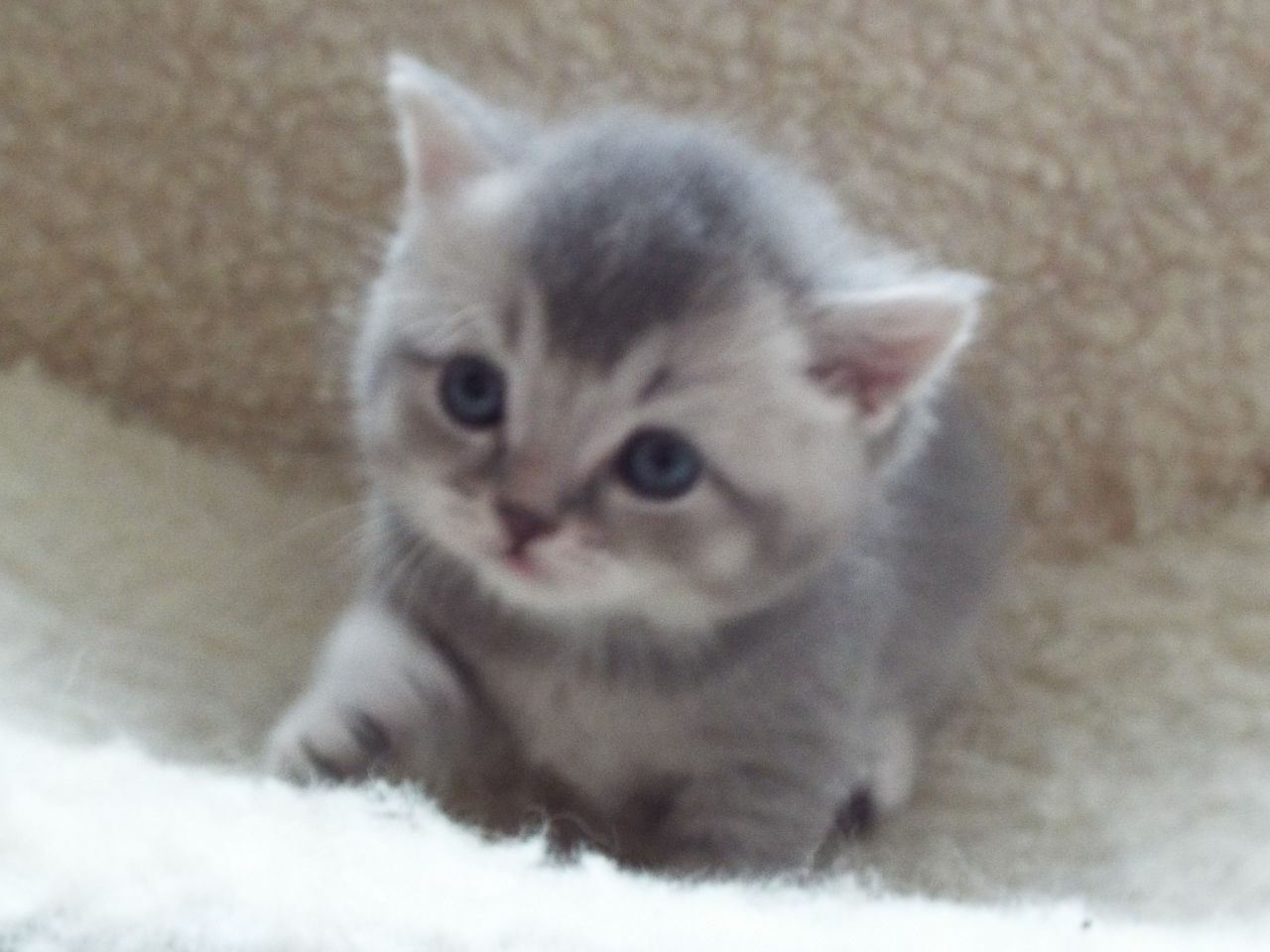 Cuddly Cats With Folded Ear Cat Breeds Scottish Fold Kittens
