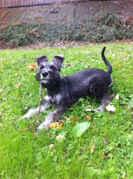 Miniature Schnauzer For Sale In Cork On Dogs For Sale Dogs Large Dogs