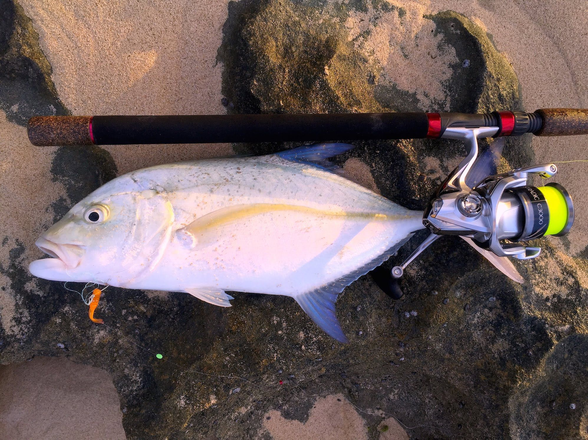 We have in stock frozen salted minnows year round - How To Set Up Your Rod Reel To Catch Fish