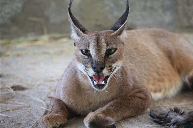 Caracal On Sir Bani Yas Island Abu Dhabi Uae Smiling Animals Wildlife Park Abu Dhabi