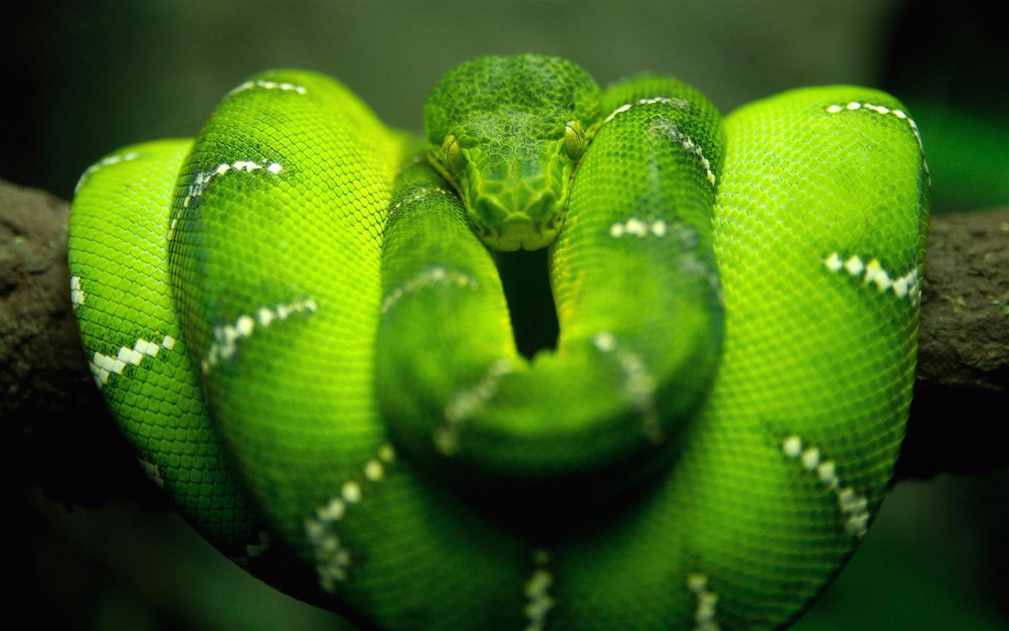 Green Anaconda iPhone Wallpapers iPhone Backgrounds And Themes