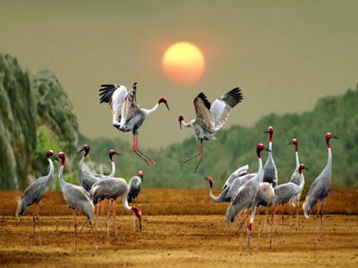 Red-headed cranes In Tram Chim National Park...think this maybe a painting...