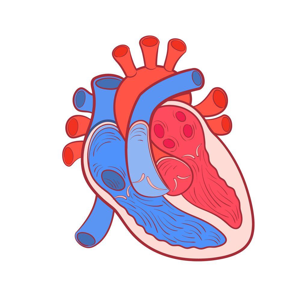 Heart diagram quizlet science diagrams pinterest heart heart diagram quizlet ccuart Choice Image