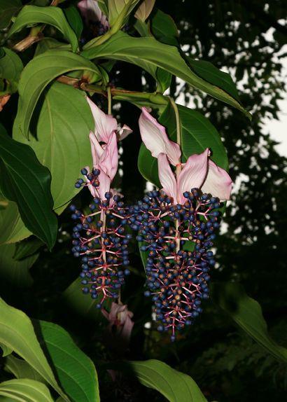 Medinilla magnifica - Rose Grape, Showy Medinilla, Malaysian Orchid, Chandelier Tree, Kapa-kapa (fruit)